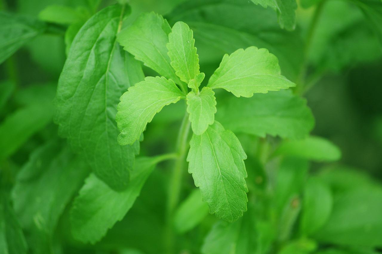 stevia-brandl